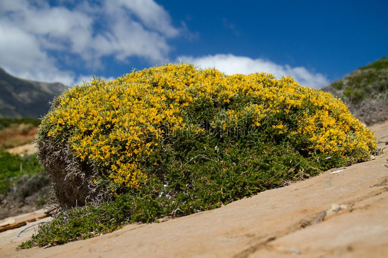 Prickly burnet. Or Sarcopoterium spinosum growing in a rocky environment under a blue sky stock image