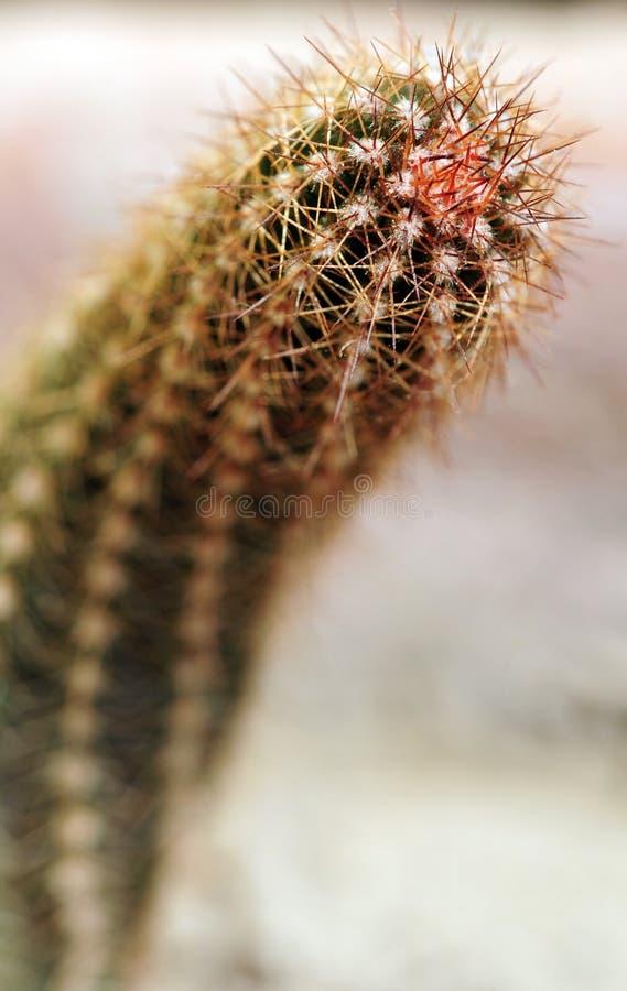 Free Prickly Cactus Closeup Shot Royalty Free Stock Images - 10995889