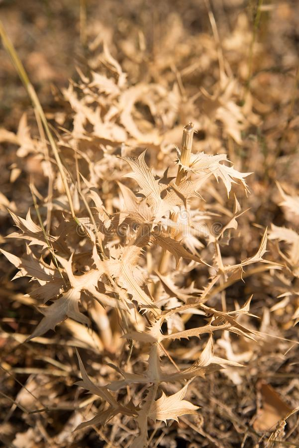 Prickly dries thorny plant. Sunlight, outdoor. Prickly dries thorny plant. Sunlight stock photos