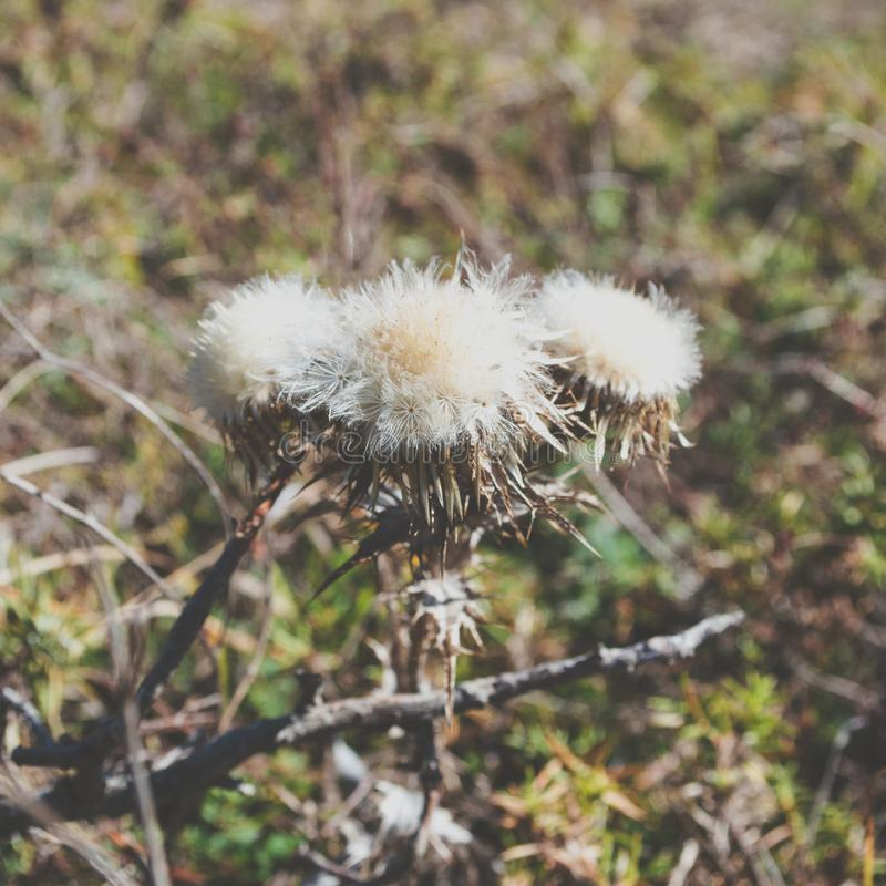 Prickly field plant similar to dandelion stock images