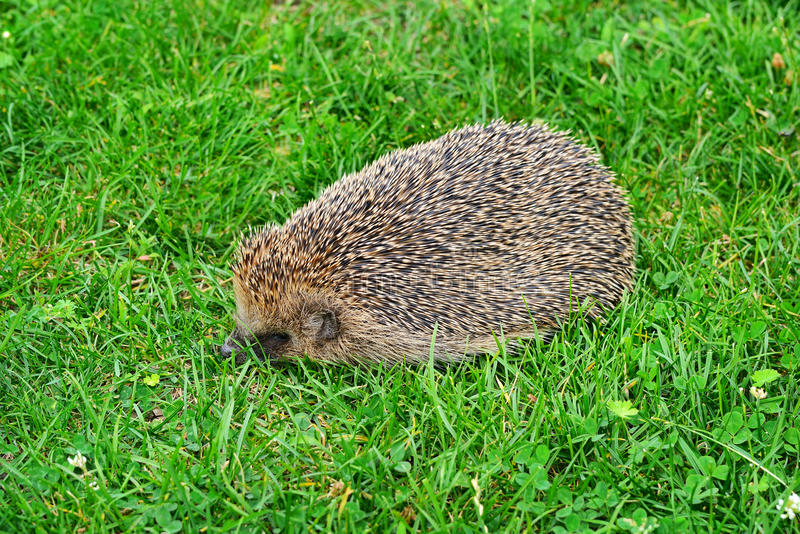 Prickly hedgehog on green grass stock image