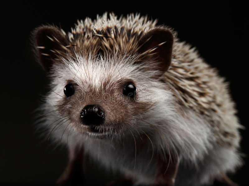 Prickly hedgehog isolated on Black Background royalty free stock photography