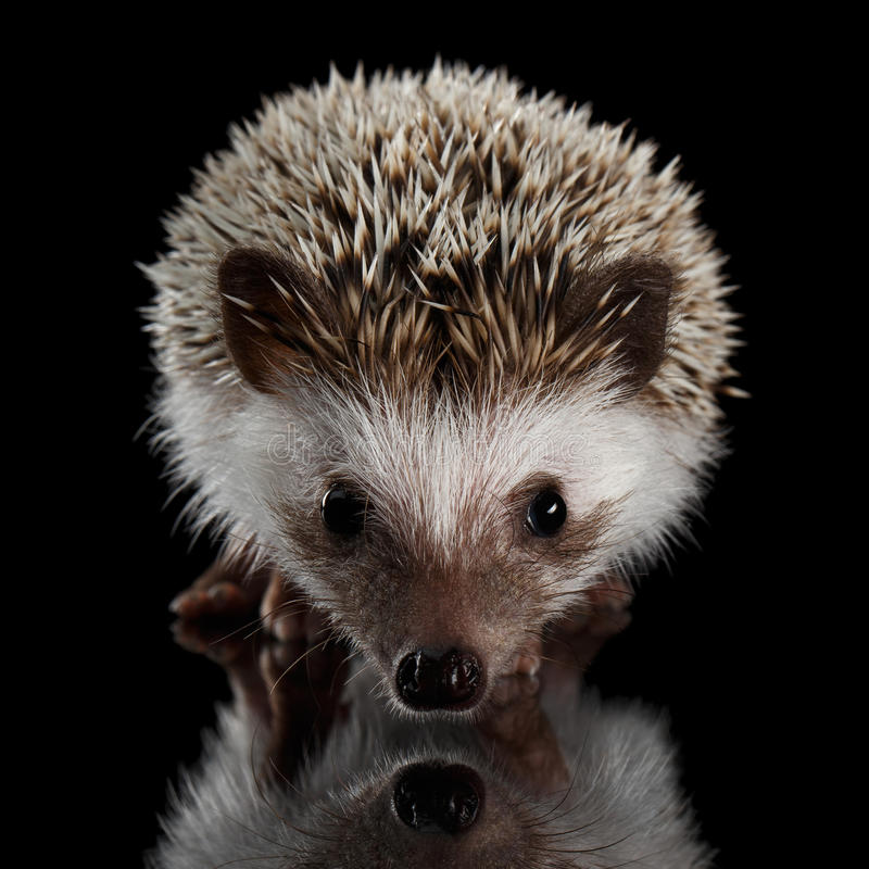 Prickly hedgehog isolated on Black Background. Portrait of Cute Prickly Hedgehog, front view, isolated on Black Background with Reflection royalty free stock image