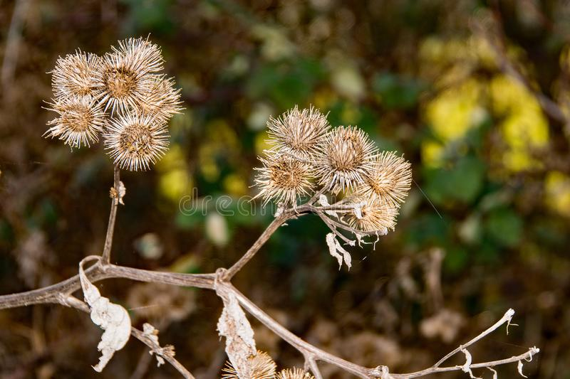 The  prickly Herb Burdock plant or Arctium plant from the  Asteraceae family. This one grows wild in Hertfordshire on the banks of the river Stort. The hooked stock image
