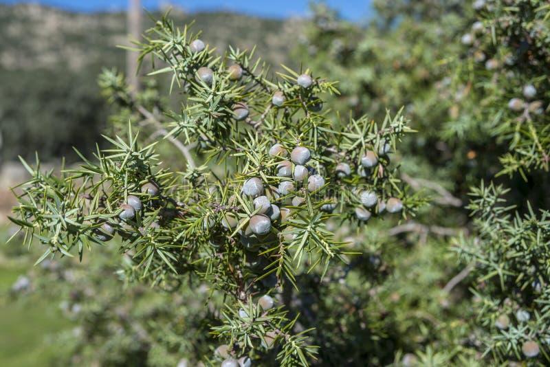 Prickly juniper, Juniperus oxycedrus. Fruits and leaves of Prickly juniper, Juniperus oxycedrus. Photo taken in Hoyo de Manzanares, province of Madrid, Spain stock photos