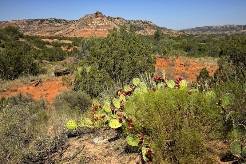 Prickly Pear Cacti lizenzfreies stockfoto
