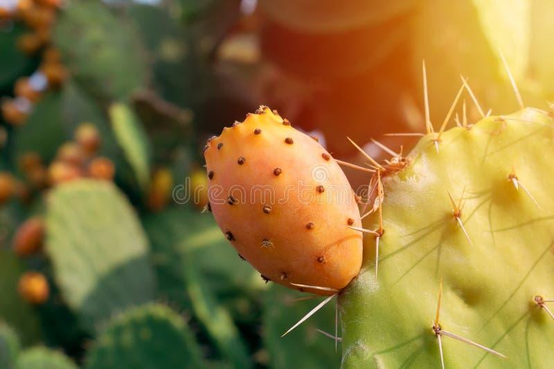 Prickly pear cactus with abundant fruits. Opuntia ficus-indica closeup view. Stock image royalty free stock photos