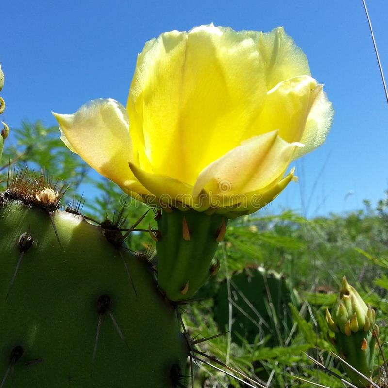 Prickly pear cactus blossom royalty free stock photography
