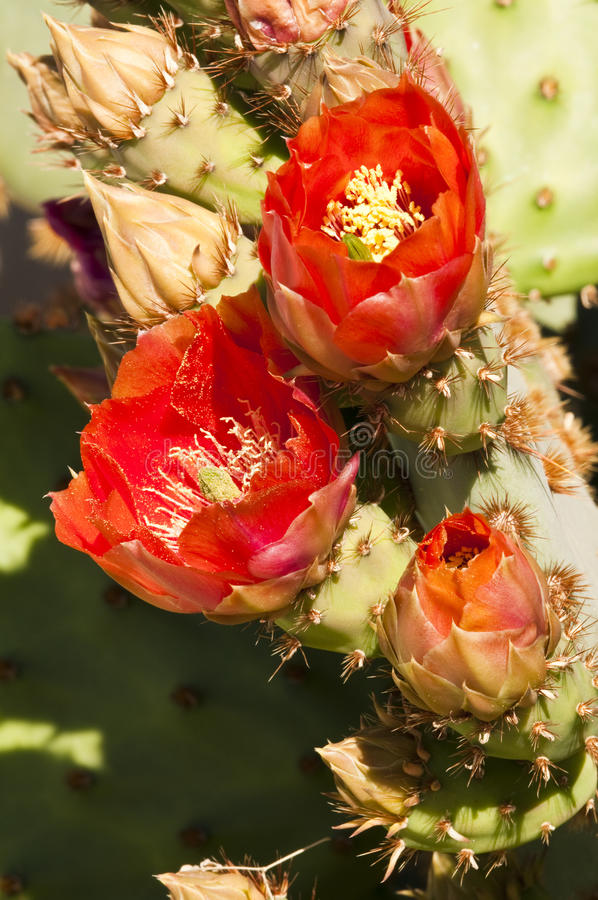 Download Prickly Pear Cactus Blossoms Stock Photo - Image of floral, decoration: 14312614
