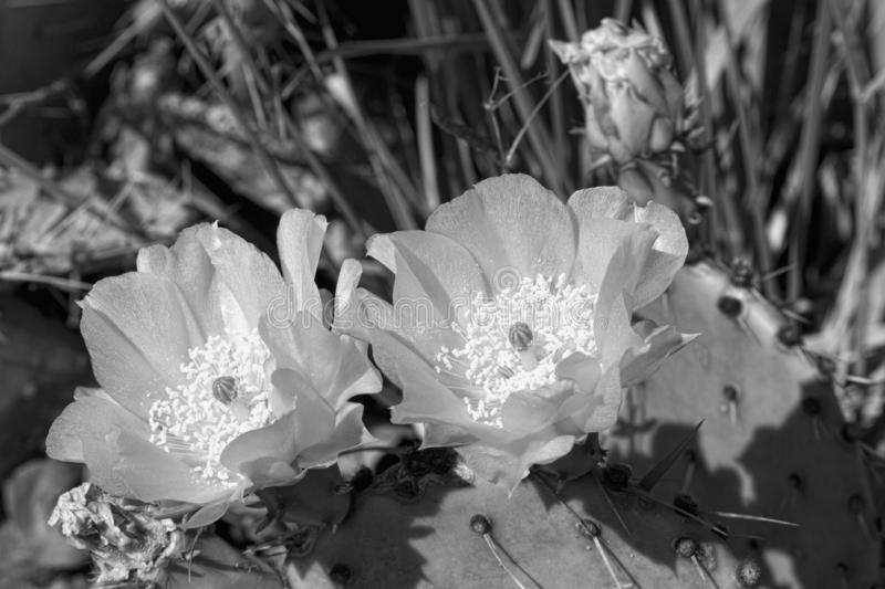 Prickly Pear Cactus Blossoms in Black and White. This is a prickly pear cactus with delicate yellow blossoms, Opuntia. This is a introduced plant growing in stock photos