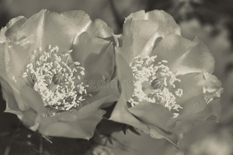 Prickly Pear Cactus Blossoms in Sepia Tones. This is a prickly pear cactus with delicate yellow blossoms, Opuntia. This is a introduced plant growing in Morgan stock photography