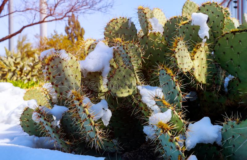 Prickly pear cactus covered in snow in Scottsdale Arizona USA royalty free stock image