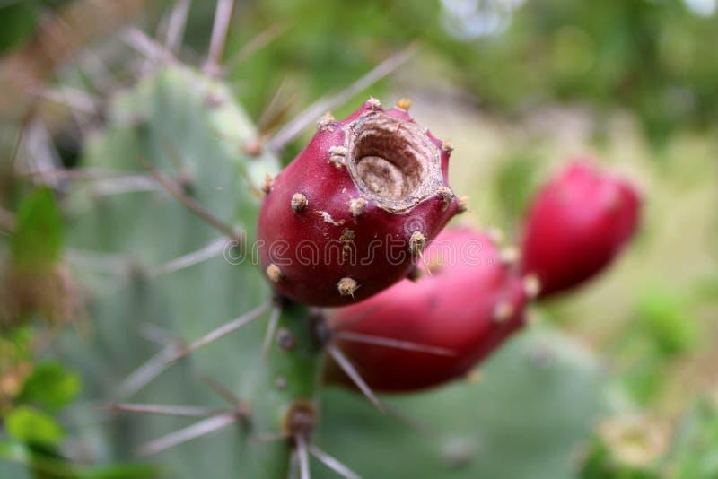 Prickly pear cactus fruit close up. Cactus plant stock photos