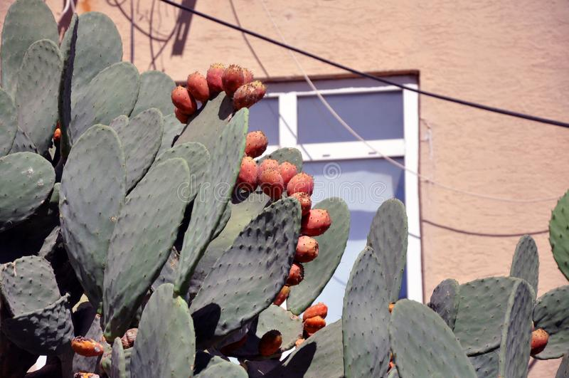 Prickly pear cactus with fruits also known as Opuntia stock image
