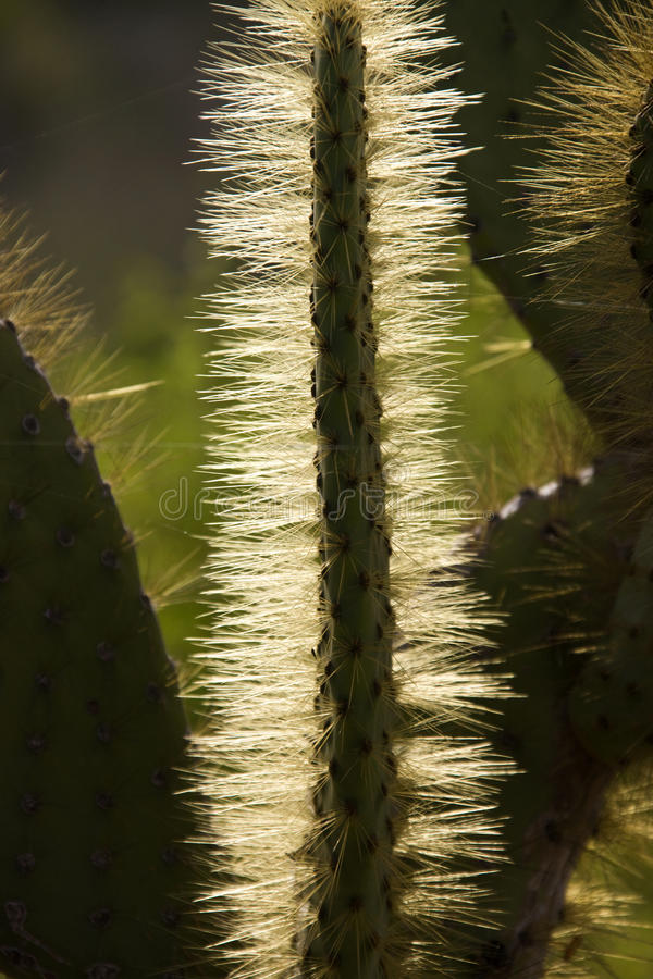 Prickly Pear Cactus - Galapagos Islands stock photography