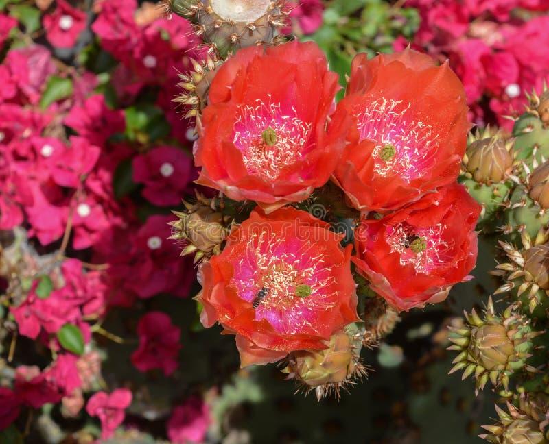 Prickly Pear Cactus Opuntia Cactaceae kwitnie w Glendale, Hrabstwo Maricopa, Arizona, Stany Zjednoczone Ameryki zdjęcie stock