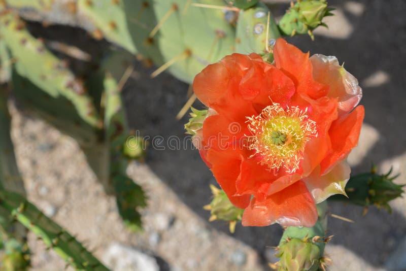 Prickly Pear Cactus Opuntia Cactaceae kwitnie w Glendale, Hrabstwo Maricopa, Arizona, Stany Zjednoczone Ameryki fotografia stock