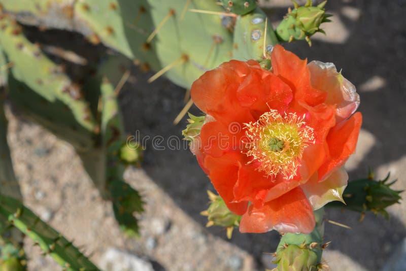 Prickly Pear Cactus Opuntia Cactaceae kwitnie w Glendale, Hrabstwo Maricopa, Arizona, Stany Zjednoczone Ameryki obraz stock