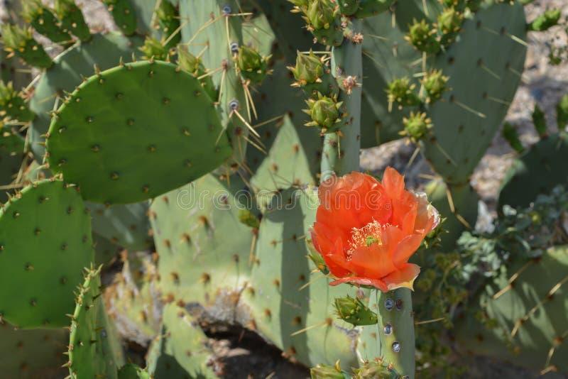 Prickly Pear Cactus Opuntia Cactaceae kwitnie w Glendale, Hrabstwo Maricopa, Arizona, Stany Zjednoczone Ameryki zdjęcie royalty free