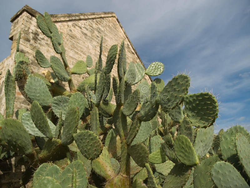 Prickly pear cactus with ruins at Roma, Texas I
