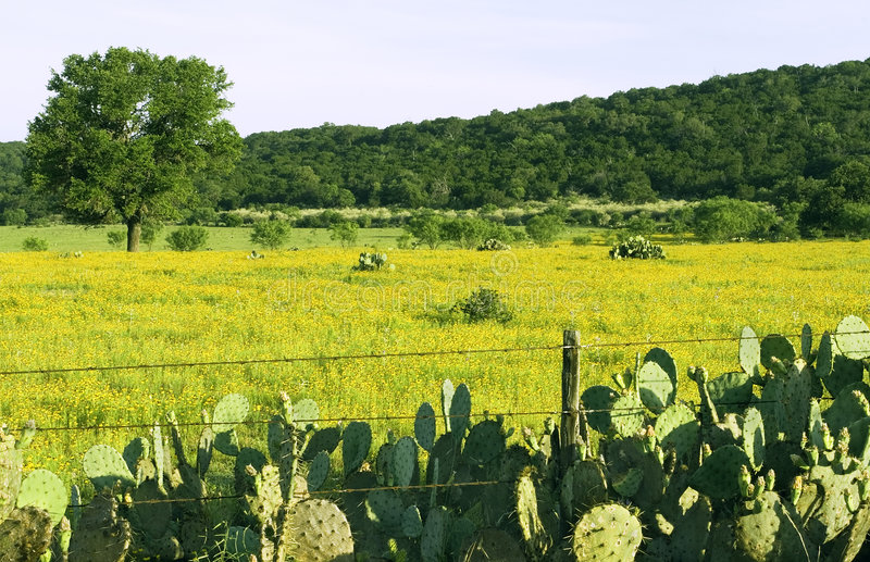 Prickly Pear Everywhere royalty free stock photo