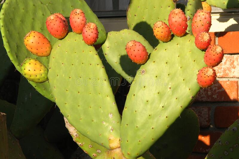prickly-pear feet stock image