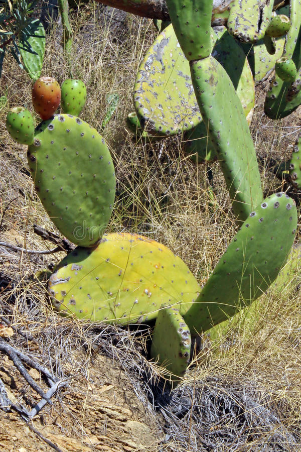 Prickly pear with figs. Prickly pear (Opuntia ficus-indicates) with mature figs in summer royalty free stock image