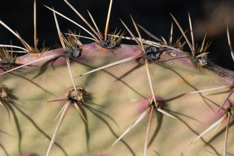 A Prickly Pear profile in the desert southwest. A profile of one of the many Prickly Pear cacti which can be found in the desert southwest stock images
