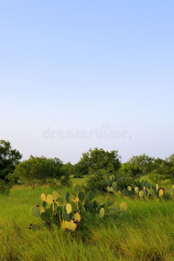 Prickly pear in South Texas ranch stock image
