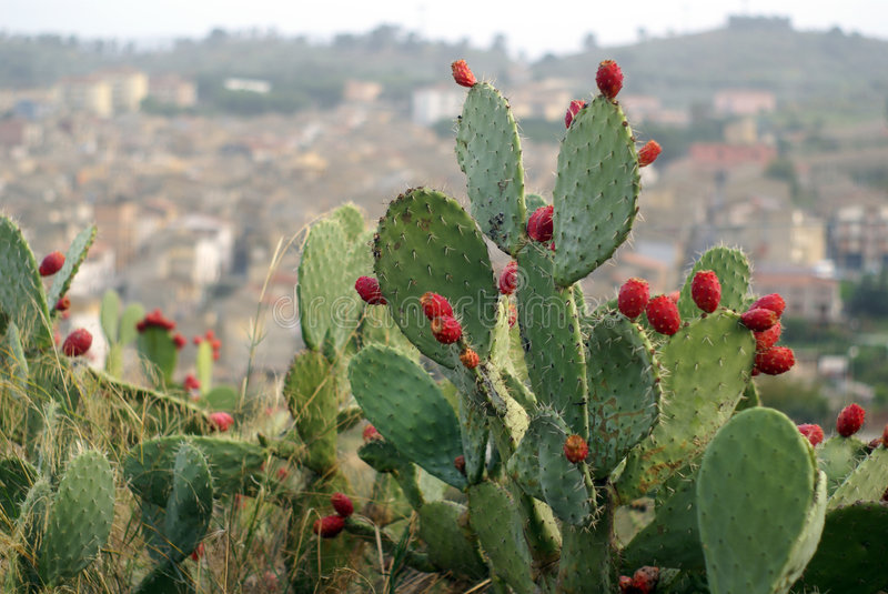 Prickly pears. Pricly pears in sicily Italy with little city background landscape stock image