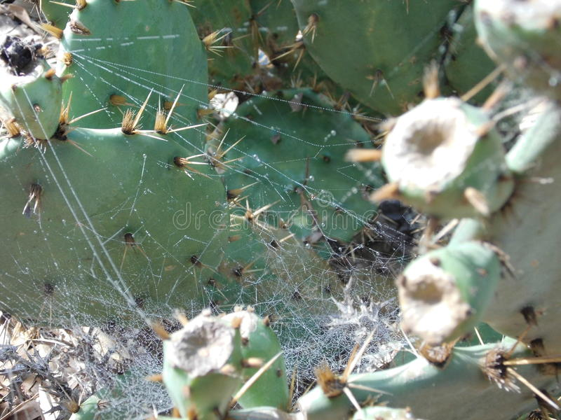 Prickly Pears cactus plant With Spider s Web stock image