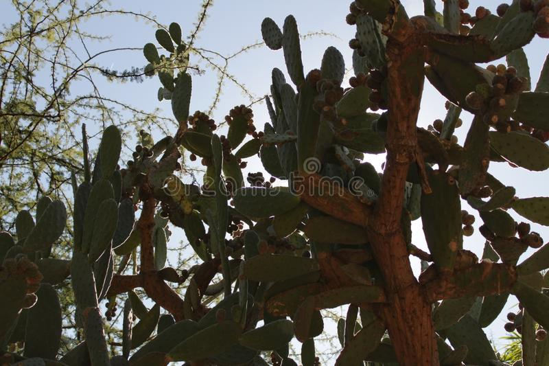 Prickly pears growing in the cactus royalty free stock images