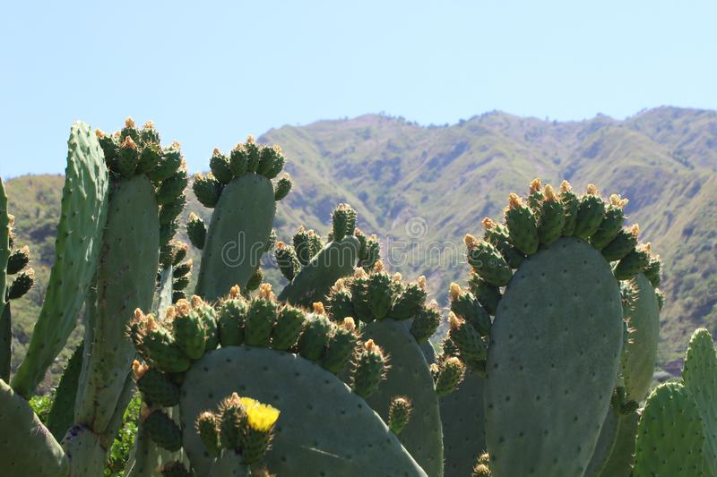 Prickly pears and mountains under the sun of Sicily royalty free stock image