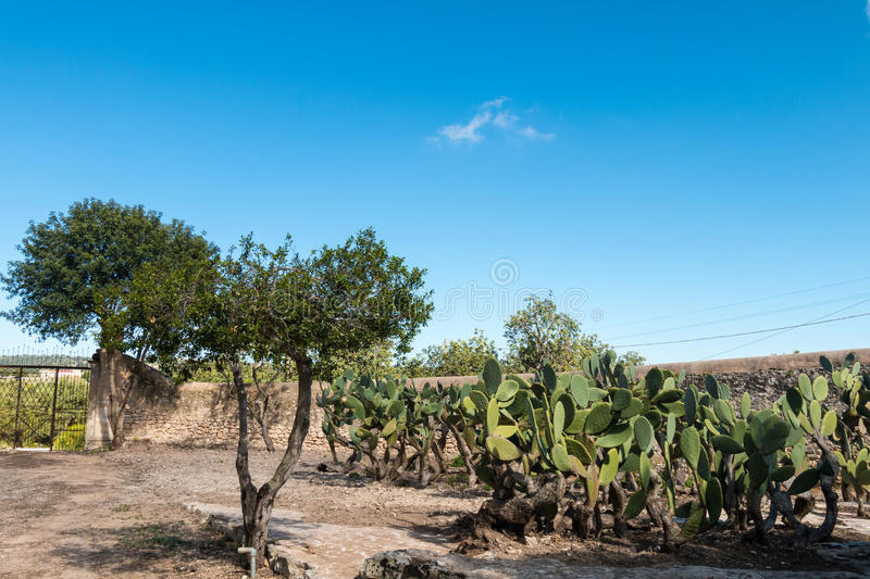 Prickly Pears plant stock photos