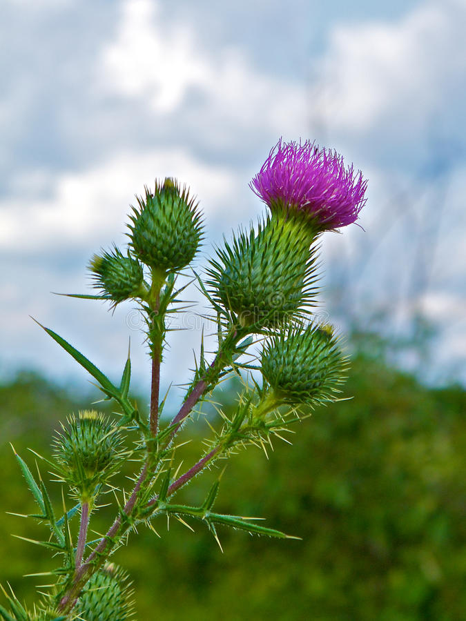 Prickly Profile of Bull Thistle Plant. Beautiful and menacing at the same time, this profile of the Bull Thistle plant highlights the beauty and danger of the stock photo