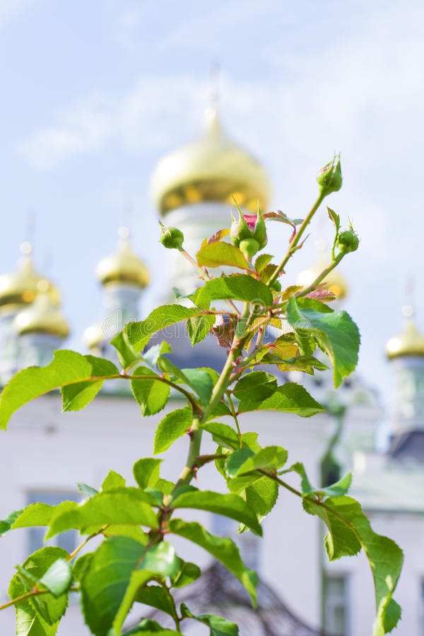 Prickly rose in front of the church. Buds of a spiky rose in front of the church stock photography