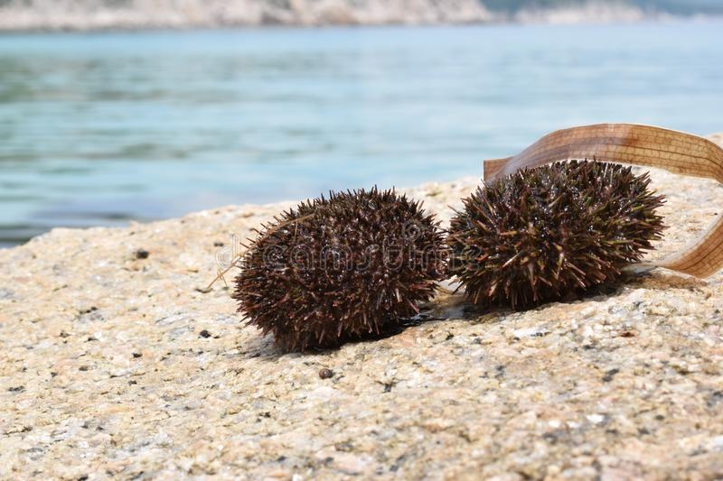 Prickly sea urchins on a stone on a Sunny day black edible sea urchins royalty free stock image
