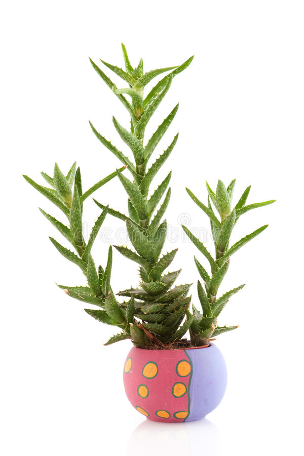 Download Prickly succulent plant stock photo. Image of background - 14234080