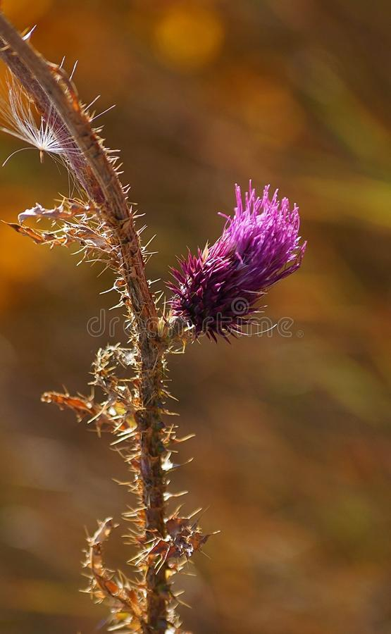 Prickly Thistle Branch With Flower stock image