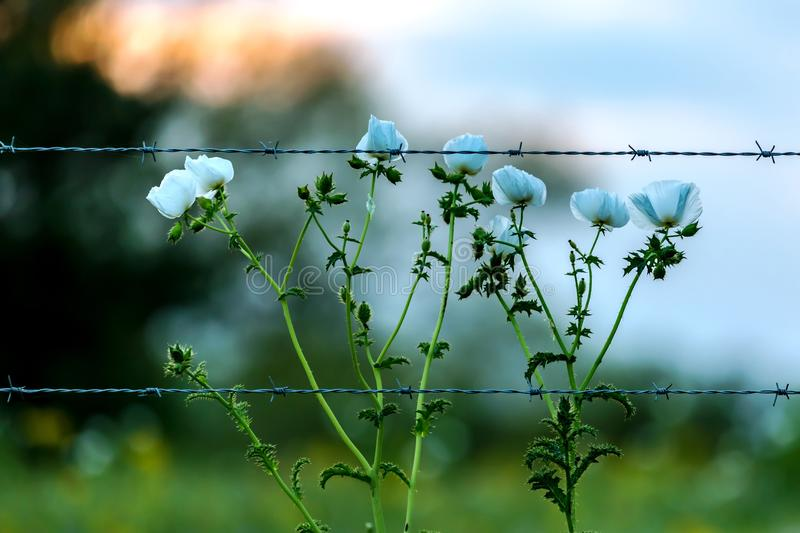 Prickly White Poppy Wildflowers in a Texas Pasture at Sunset with Fence. Closeup of Prickly White Poppies and other Texas Wildflowers in a Texas Pasture at stock image