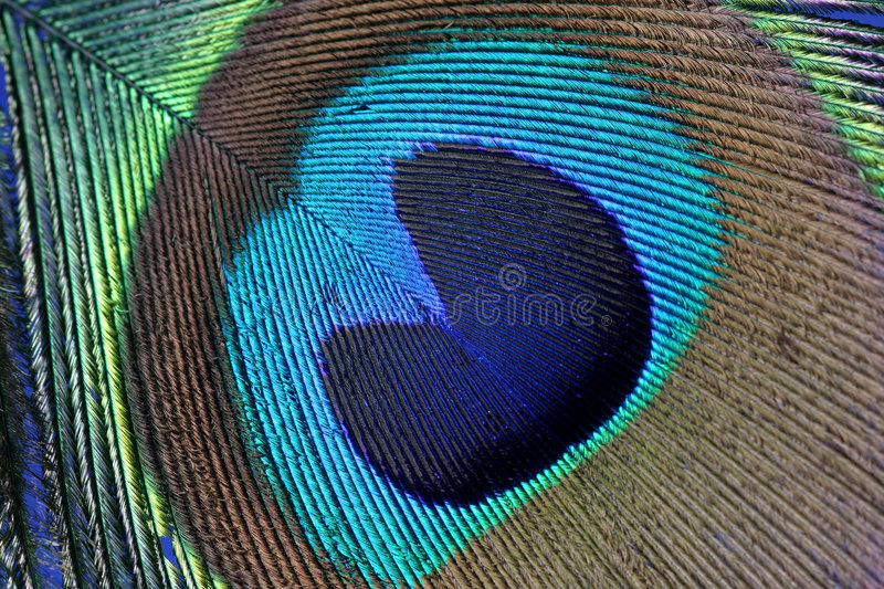 Pride. A depiction of pride in this macro of a peacock feather (proud as a peacock). Also good as a texture or background shot stock image