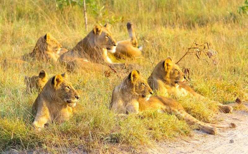 A pride of African Lions relaxing in the grass in a South Africa royalty free stock image