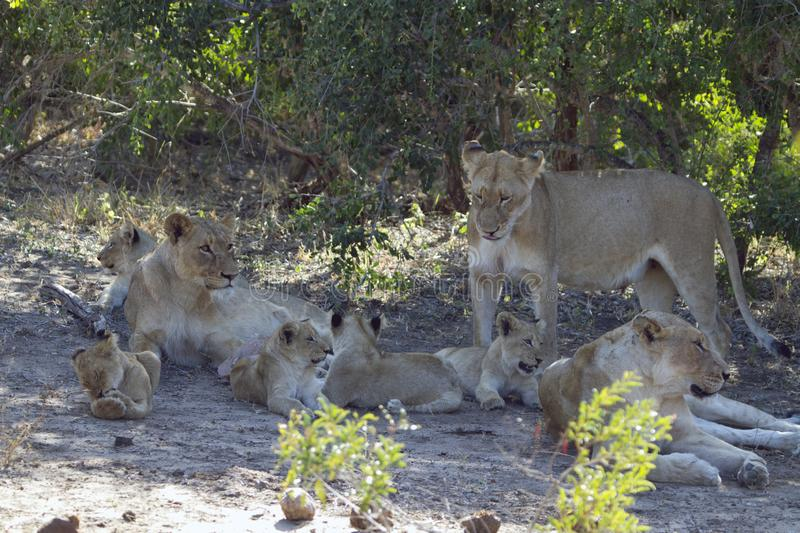 Pride of african lions resting in the shade stock photography