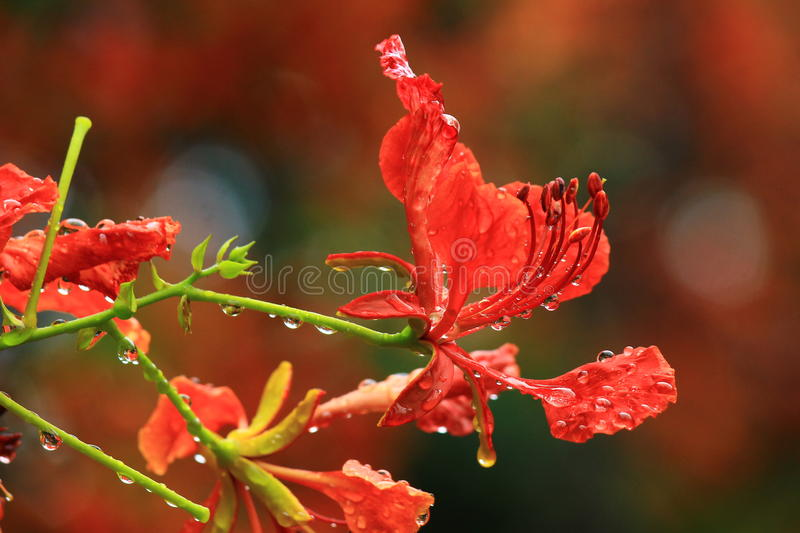 Pride of Barbados royalty free stock images