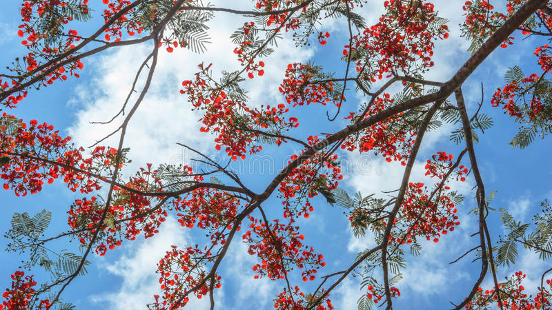 Download Pride Of Barbados Royalty Free Stock Photo - Image: 30911275