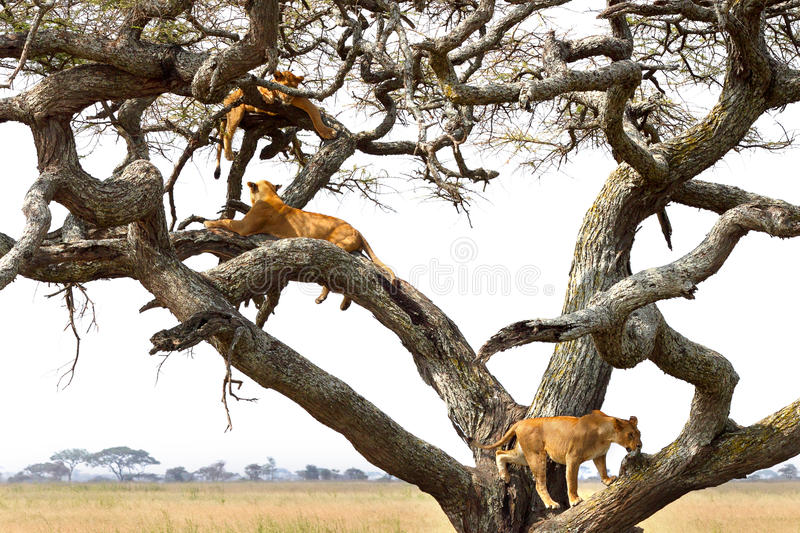 Pride of lionesses resting on a tree. A pride of lioness, Panthera Leo, resting on a tree in Serengeti National Park, Tanzania stock photo