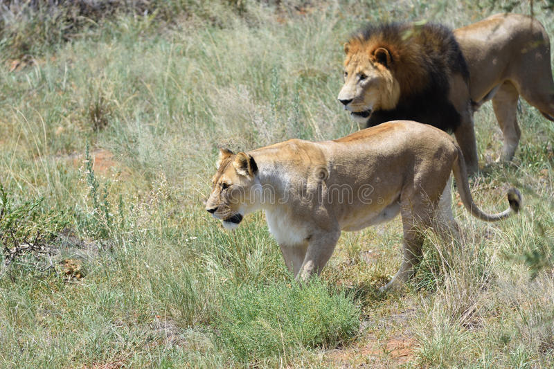 Pride of lions, Africa. Couple of lions on the hunt. Lion and lioness ready to attac in the African bushveld, Namibia. Focus on the lioness stock photos