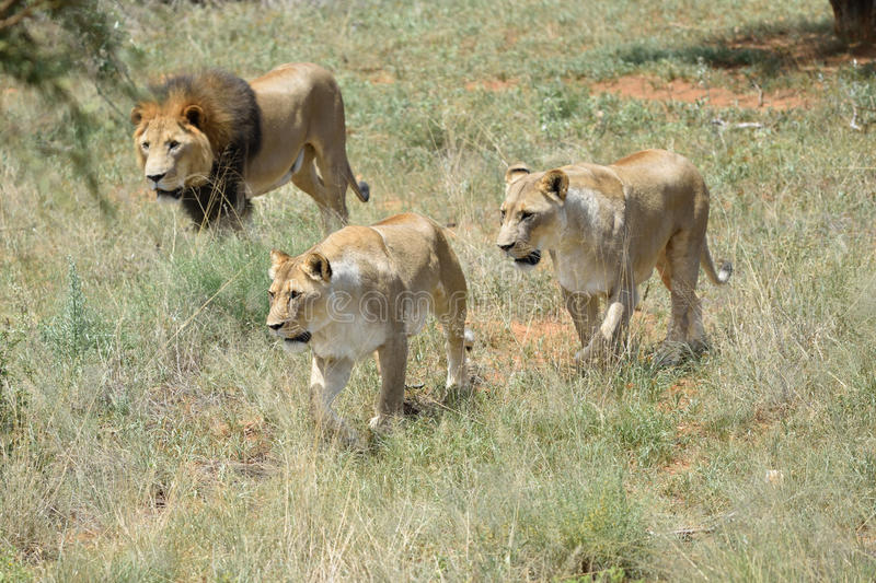 Pride of lions, Africa stock photos