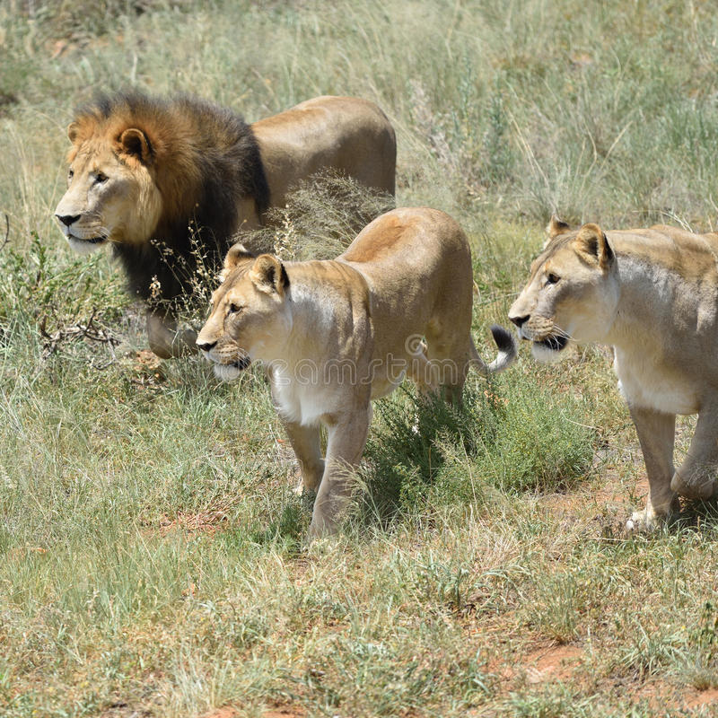 Pride of lions, Africa royalty free stock image