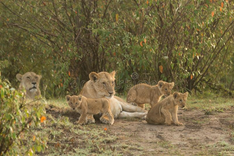 A pride of lions with cubs stock photography